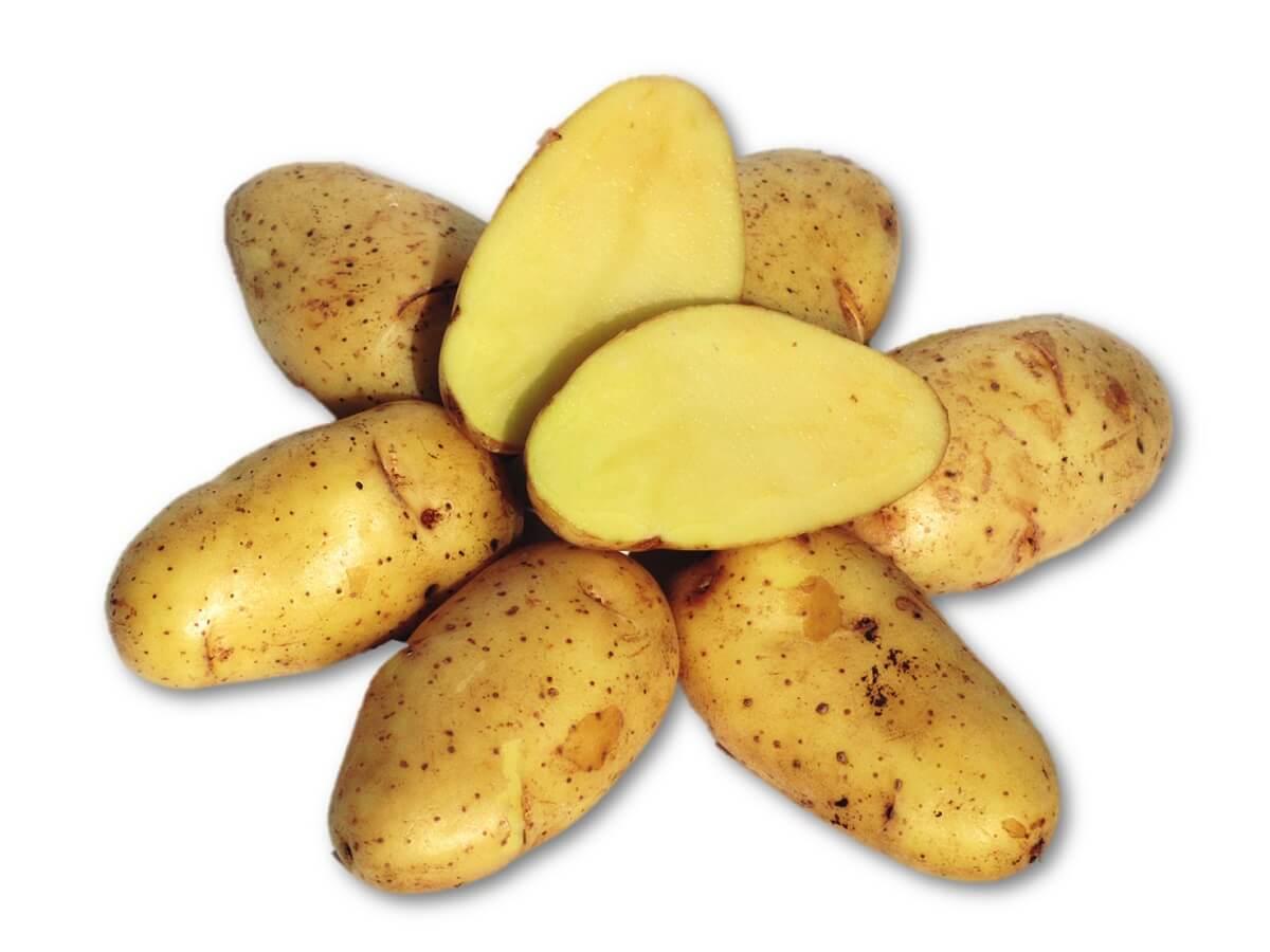 kartoffel sieglinde pflanzzeit